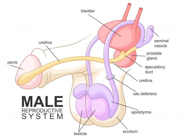 دستگاه تولید مثلی مردان